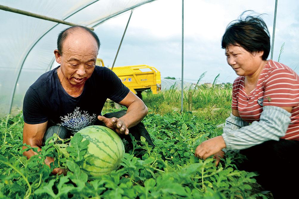 仲政武辨别并挑选出成熟的西瓜。