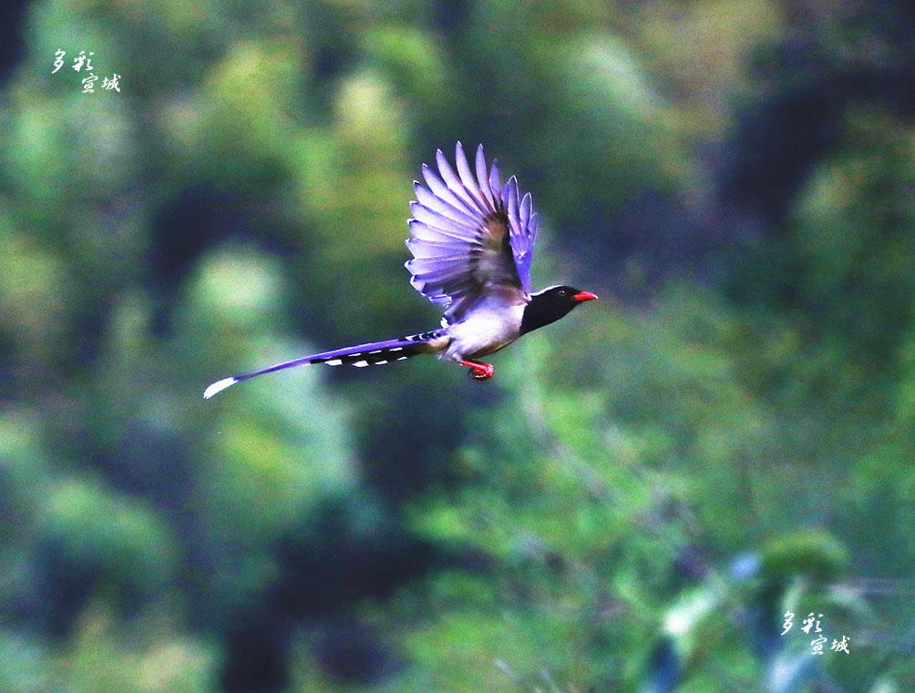 山清水秀,漫山竹木,鸟语花香是皖南山区的环境写照。在绩溪县龙川景区岭里山村园林中就常年栖息着红嘴蓝鹊。胡华余 摄