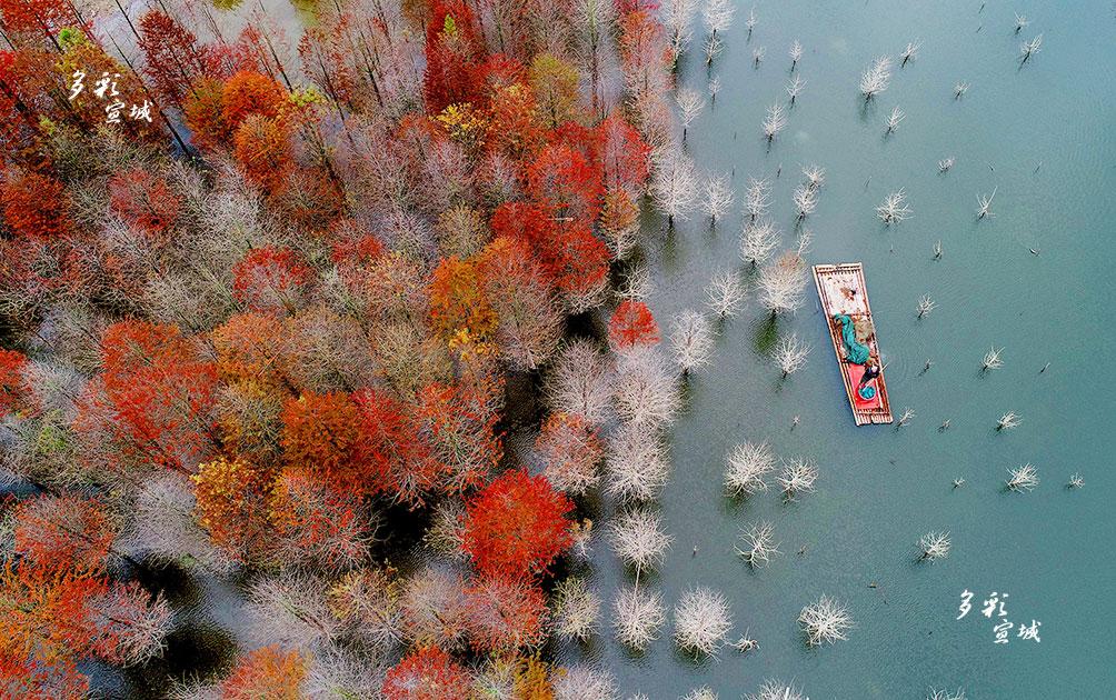 据介绍,因水库蓄水,原先长在旱地里的落羽杉泡在了水中,可它很快适应了新的环境,在水中依然挺立。每年11月中旬,红杉林开始变色,一直持续到12月上旬左右,颜色先由绿转黄再变成红,色彩缤纷,绚丽多姿。江南风雨 摄