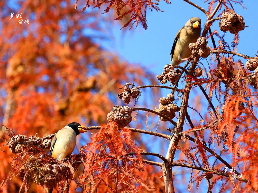 近日,不少市民在宛溪南门桥与宛溪河畔步行观光走道口的一片红杉树处,偶见一群黑尾蜡嘴雀竞相叼吃红杉果。