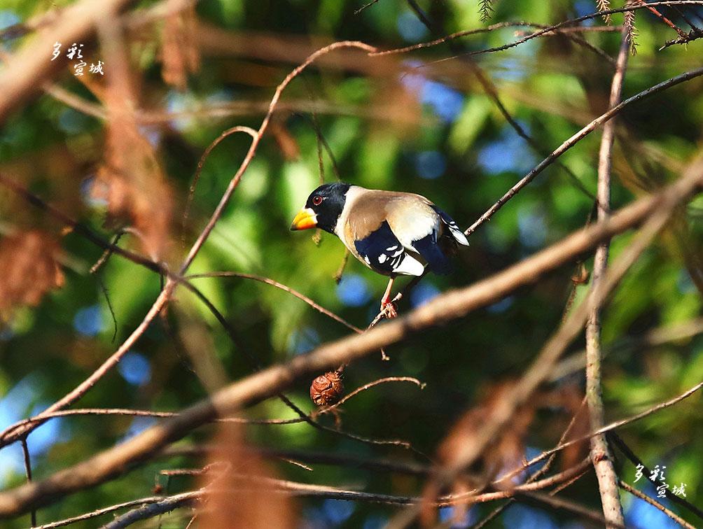 黑尾蜡嘴雀有着黄色粗大的蜡嘴、闪亮的双眼、油黑的头毛白色端斑的两翅,极具特征。胡华余 摄