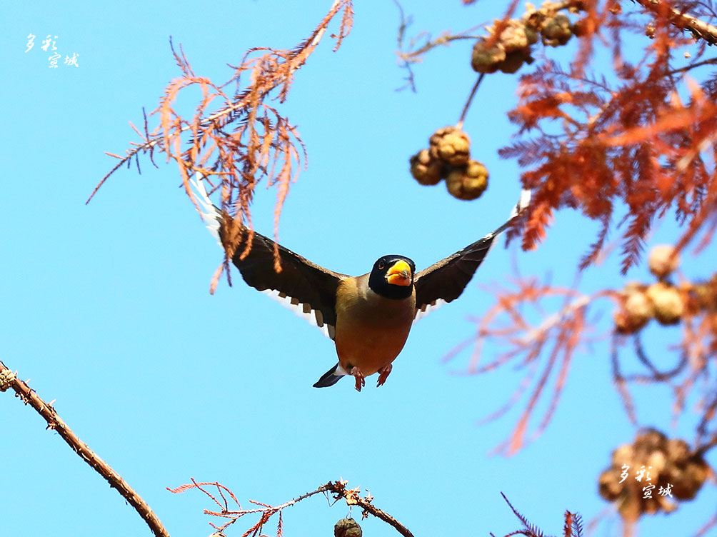 难得的朝阳照射在红杉林上,红杉果显得格外绚丽多彩,几只黑尾蜡嘴雀窜飞停在红杉林果枝上觅食,有的倒挂叼吃、有的仰吃、有的窜吃,还有的疑似口叼烟斗自由吃。特约摄影记者 胡华余 摄