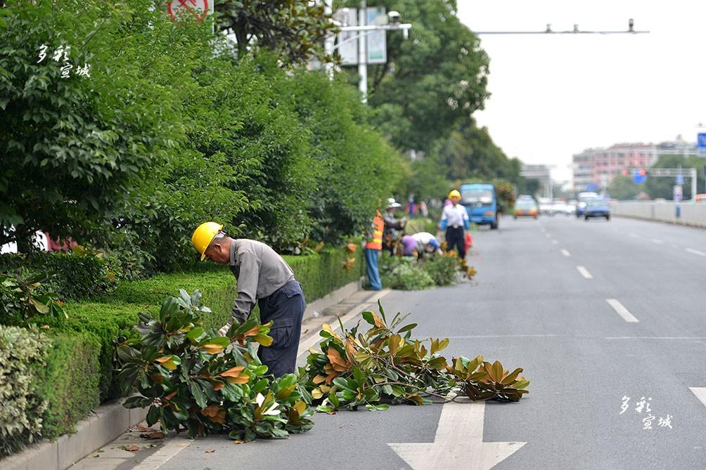 """6月17日,市区宛溪南路上,园林工人正在剪除行道树过密、过长等枝杈。此举能使树冠更加通透、美观,提高观赏性;防治害虫,做好""""瘦身减负""""。同时,还能在台风汛期来临期间,有效降低树木倒伏和安全事故的发生。 记者 汪辉 摄"""