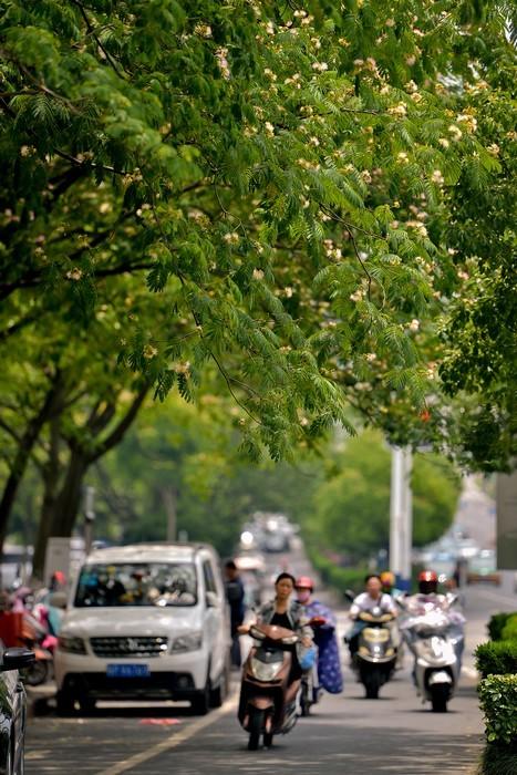 日前,市区昭亭路上,合欢花盛开。行走在道路两侧,仿佛置身花园。合欢花期在6-7月份,此时正是昭亭路上合欢花盛开的时节,布满道路两侧的合欢树上,花朵迎风绽放,让人沉醉。记者  汪辉 摄