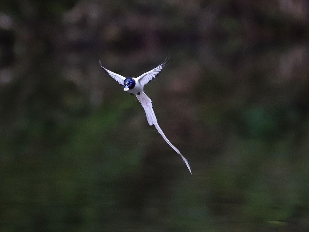 寿带叼着鸟屎飞。特约摄影记者 胡华余  摄。