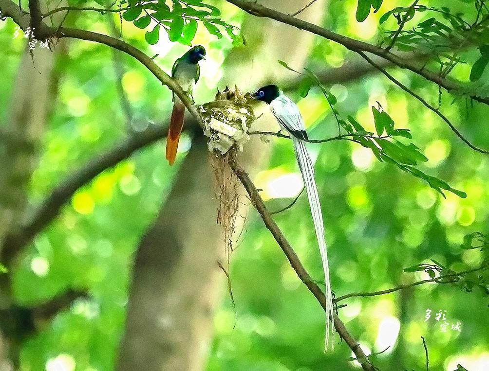 雌雄寿带同喂食。特约摄影记者 胡华余  摄。