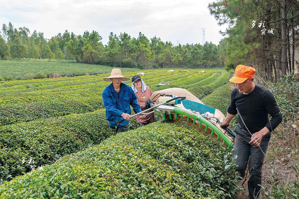 又到一年春耕時,連日來,郎溪縣十字鎮廣大茶農開展采摘修剪和施肥工作,為綠茶嫩芽的成長提供充分養分及空間。圖為十字鎮新和村方村茶農對茶葉進行修剪。  張余才 特約記者 徐萍萍 攝