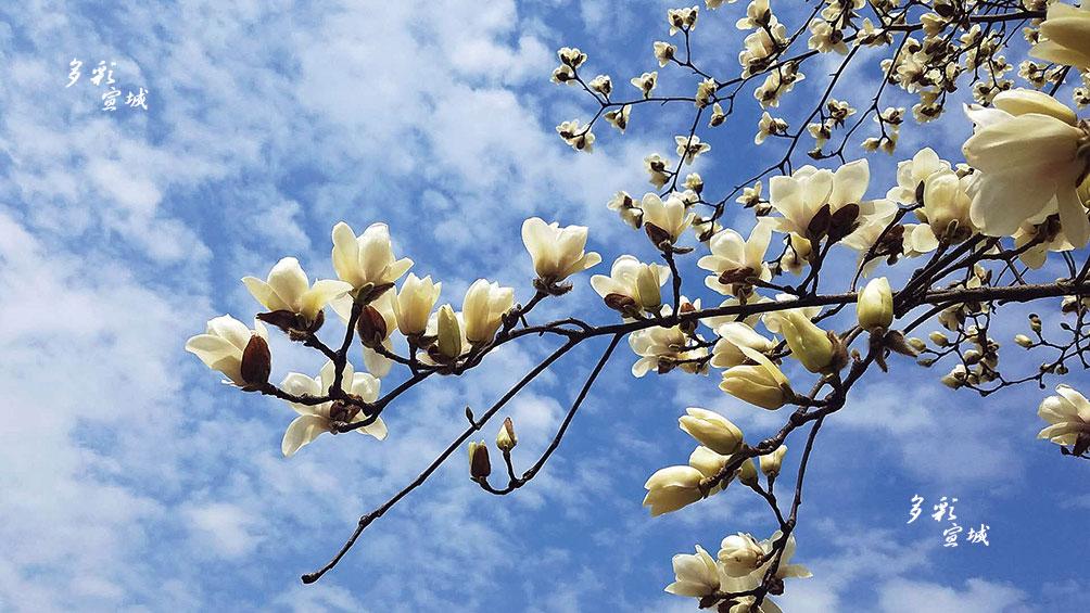 冬去春来,天气渐暖,我市街头、公园里的桃花、梨花、樱花、玉兰花等陆续开放,花枝摇曳,一派春意。一些市民也被美景吸引,驻足欣赏绚丽的春色。相信在这个特殊时期,众志成城,必能迎来满城春色。全媒体记者 戴巍 摄