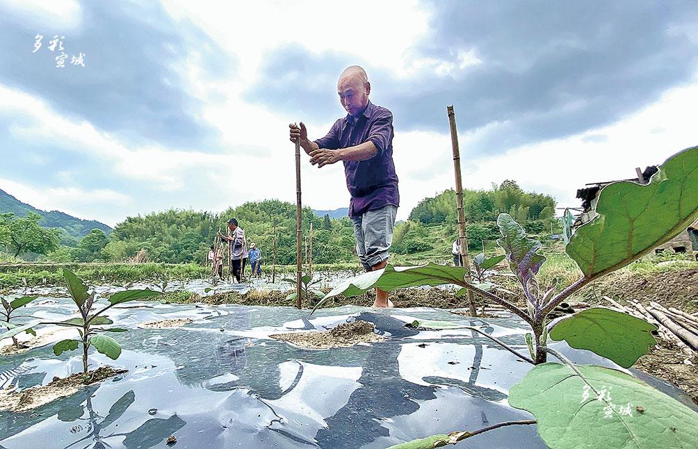 """5月8日,绩溪县板桥头乡一片紫茄种植基地里,种植大户正忙着插杆搭架,为紫茄的后续生长提供有利条件。近年来,该乡紧紧围绕乡村振兴战略,立足于自身的自然环境优势,以农业增效、农民增收为目标,依托良好的生态资源优势和紧邻江浙的区位优势,大力推动紫茄产业发展基地化、规模化、标准化、品牌化,通过""""大户+贫困户""""""""能人+贫困户""""等发展模式,让贫困户在产业发展中获得""""真金白银""""。全媒体记者 顾维林 特约记者 蒋梦 摄"""