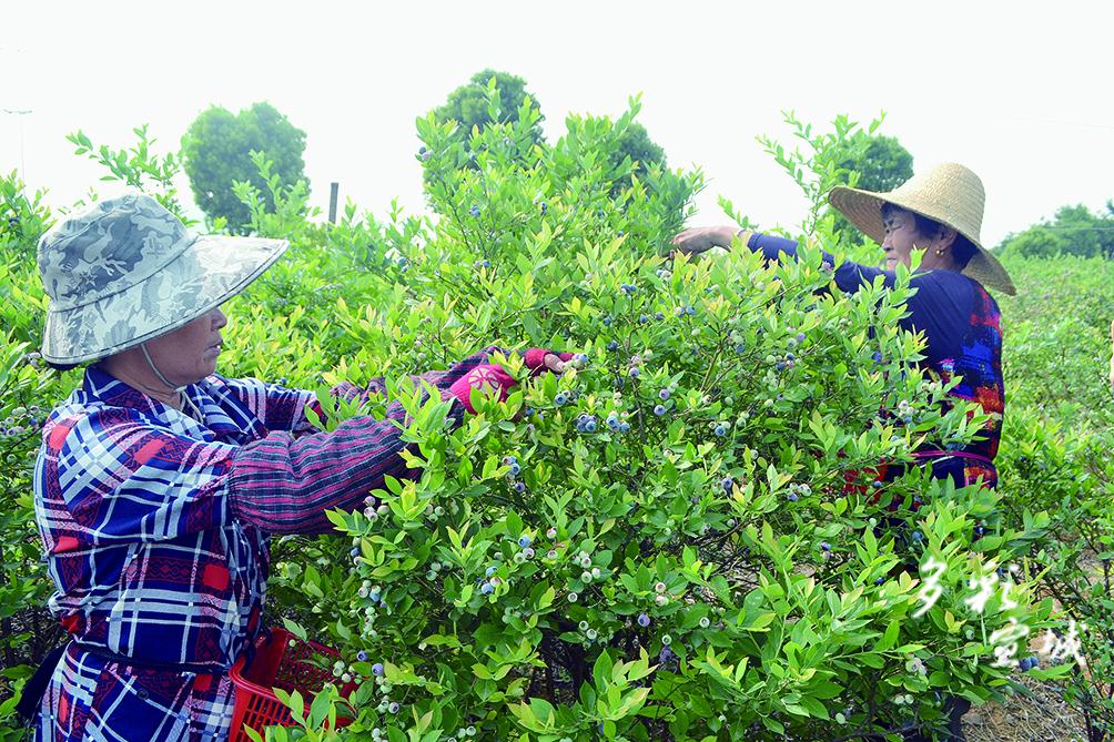 5月18日,在郎溪县凌笪乡蓝莓扶贫产业基地2号采摘园里,工人们正在采摘蓝莓。随着气温逐渐升高,凌笪乡蓝莓扶贫产业基地的上千亩蓝莓陆续进入成熟期,各采摘园先后开园采摘。蓝莓采摘期持续2个多月,将为当地300多名群众提供就业岗位,每人增收4000多元。 特约记者 夏忠羽 摄