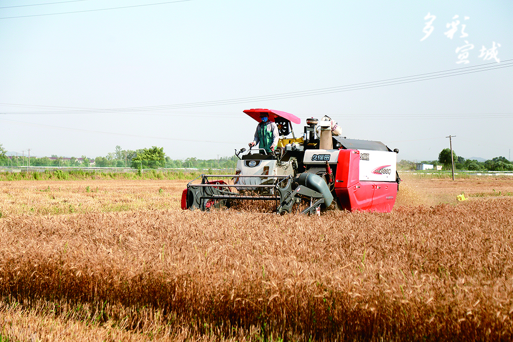 日前,在郎溪县建平镇,金黄色的麦浪翻滚,耳边传来阵阵机器的轰鸣声,一台收割机正穿梭在麦田间,一袋袋麦粒被收获起来。据了解,今年郎溪县共种植小麦24.6万亩。近期,各地农户正抓住晴好天气,开展小麦收割工作,确保小麦颗粒归仓。 曹凌晨 全媒体记者 叶竞文 摄