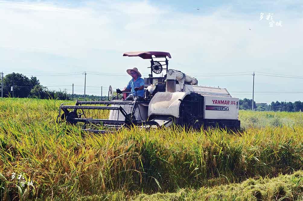 日前,在郎溪县凌笪乡双庙村,收割机正在收割再生稻。入秋以来,天气晴好,再生稻头茬水稻逐渐成熟,该乡种植户们抢抓季节,加紧收割,为秋季再生稻生长做好准备,力争夺取再生稻大丰收。 特约记者 夏忠羽 摄