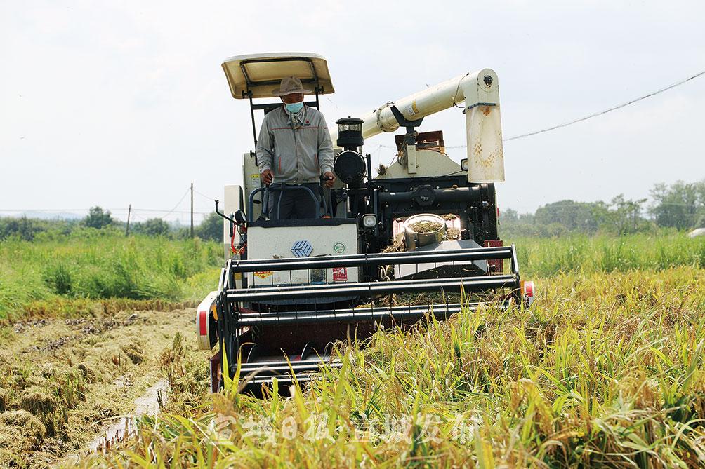 8月18日,在郎溪县凌笪镇双庙村宏业粮油种植家庭农场的再生稻种植基地,收割机正在抢收再生稻头茬水稻。近年来,凌笪镇积极打造再生稻特色产业,引导农户种植再生稻,目前全镇已发展再生稻2261亩。特约记者 夏忠羽 摄